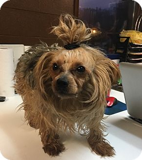 Yorkie, Yorkshire Terrier Dog for adoption in Hazard, Kentucky - Andy