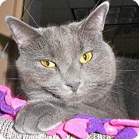 Adopt A Pet :: Greycie - Chesapeake, VA
