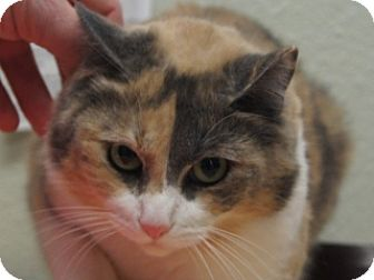 Manx Cat for adoption in Libby, Montana - Polly