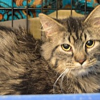 Adopt A Pet :: Tuffy - Logan, UT