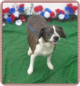 Beagle Mix Dog for adoption in Marietta, Georgia - STELLA see also DOT (R)