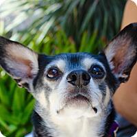 Adopt A Pet :: Gus III - Los Angeles, CA