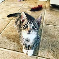 Adopt A Pet :: Gizmo (Baby Boy) - Harrisburg, PA