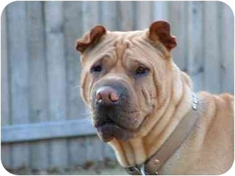 Shar Pei Dog for adoption in Houston, Texas - Cooper