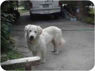 Great Pyrenees/Golden Retriever Mix Dog for adoption in Kyle, Texas - Barney