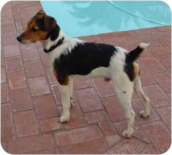 Jack Russell Terrier Dog for adoption in Scottsdale, Arizona - Archie