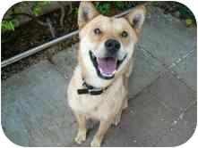 Jindo/Shiba Inu Mix Dog for adoption in Marysville, California - Mango