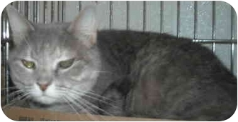 Domestic Mediumhair Cat for adoption in Shepherdsville, Kentucky - Jess