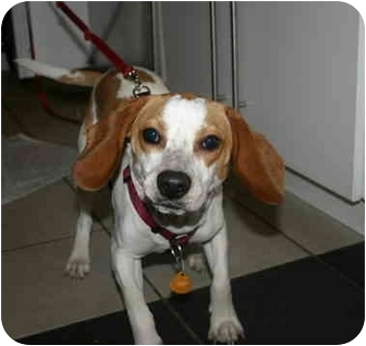Beagle Puppy for adoption in Long Beach, New York - Peanut