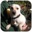Photo 2 - Chihuahua/Dachshund Mix Dog for adoption in Seattle, Washington - Rocket - foster needed!