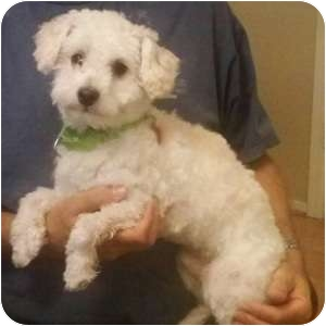 Maltese/Poodle (Toy or Tea Cup) Mix Dog for adoption in Phoenix, Arizona - Colby