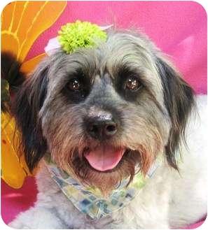 Havanese/Poodle (Miniature) Mix Dog for adoption in Irvine, California - Thelma