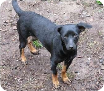 Dachshund/Chihuahua Mix Dog for adoption in Salem, Oregon - Steve