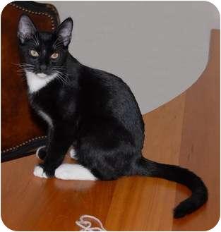 Domestic Shorthair Cat for adoption in Scottsdale, Arizona - Romeo