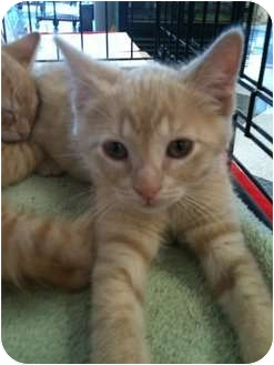Domestic Shorthair Cat for adoption in Farmers Branch, Texas - Dirk