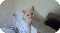 Domestic Longhair Kitten for adoption in Tampa, Florida - Kiley