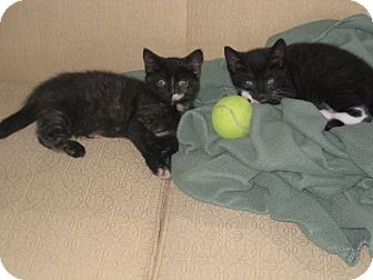 Domestic Shorthair Kitten for adoption in Pittstown, New Jersey - Tallulah and Owen
