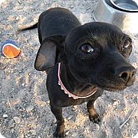 Adopt A Pet :: Diamond - Arenas Valley, NM