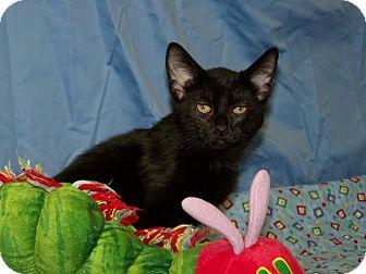 Domestic Shorthair Kitten for adoption in China, Michigan - Asha