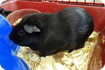 Guinea Pig for adoption in Elyria, Ohio - Johnny