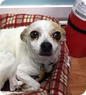 Chihuahua/Terrier (Unknown Type, Small) Mix Dog for adoption in Shawnee Mission, Kansas - Dulce