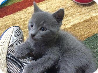 Russian Blue Kitten for adoption in Turnersville, New Jersey - Wyatt Earp