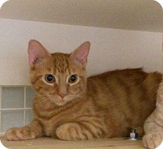 Domestic Shorthair Cat for adoption in Cat Spring, Texas - Vin Diesel