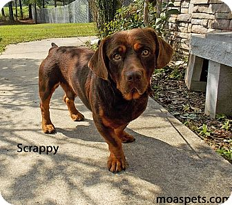 Basset Hound/Rottweiler Mix Dog for adoption in Danielsville, Georgia - Scrappy
