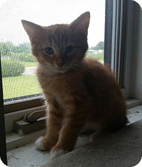 Domestic Shorthair Cat for adoption in Owenboro, Kentucky - SHERBERT
