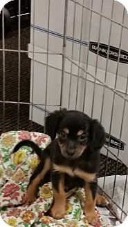 Chihuahua/Terrier (Unknown Type, Small) Mix Puppy for adoption in Pomerene, Arizona - Little boy 3