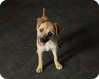 Terrier (Unknown Type, Medium)/Chihuahua Mix Puppy for adoption in Cedar Creek, Texas - Prairie