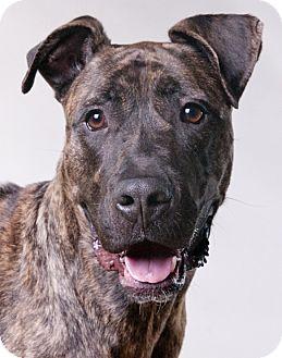 Great Dane/Mastiff Mix Dog for adoption in Chicago, Illinois - Apollo