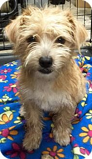 Terrier (Unknown Type, Small) Mix Dog for adoption in Groveland, Florida - Bernie