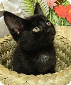 Domestic Shorthair Kitten for adoption in Columbus, Nebraska - Jade