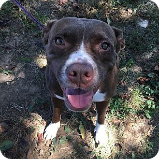Pit Bull Terrier/Labrador Retriever Mix Dog for adoption in Florence, Kentucky - Missy