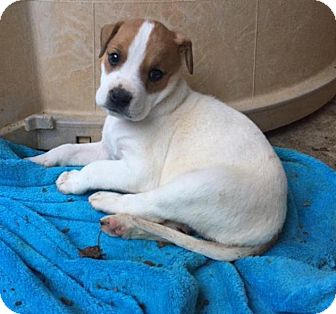Boxer/Pit Bull Terrier Mix Puppy for adoption in Charlotte, North Carolina - Marnie