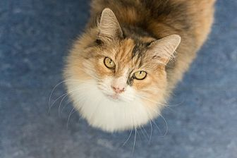 Domestic Longhair Cat for adoption in Houston, Texas - Dolores