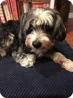 Chinese Crested Dog for adoption in Lehigh, Florida - Oreo