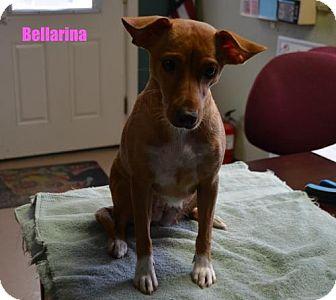 Jack Russell Terrier Mix Dog for adoption in Yreka, California - Bellarina
