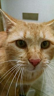 Domestic Shorthair Cat for adoption in Cherry Hill, New Jersey - Dusty