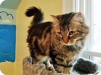 Domestic Longhair Cat for adoption in Bedford, Virginia - Amore