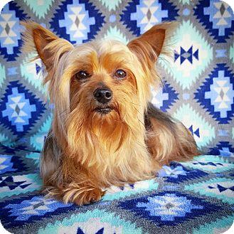 Yorkie, Yorkshire Terrier Dog for adoption in Fredericksburg, Texas - Mitzi