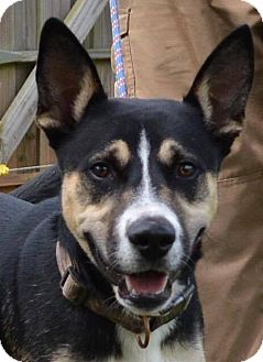 Shepherd (Unknown Type) Mix Dog for adoption in Southbury, Connecticut - Gunner