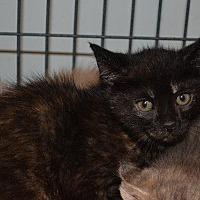 Adopt A Pet :: Godiva - Cambridge, MD
