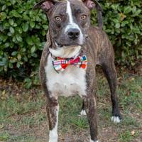 Adopt A Pet :: Indy - Savannah, GA