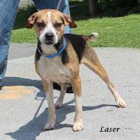 Adopt A Pet :: Laser - Menands, NY