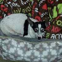 Chihuahua Mix Dog for adoption in Dothan, Alabama - Tiny