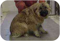German Shepherd Dog/Chow Chow Mix Dog for adoption in Northville, Michigan - Will
