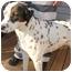 Photo 2 - Dalmatian Mix Dog for adoption in Dahlonega, Georgia - Dino