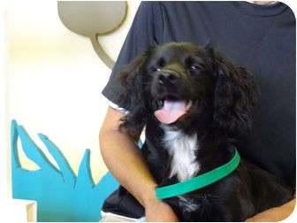 Cocker Spaniel/Terrier (Unknown Type, Small) Mix Puppy for adoption in Coral Springs, Florida - Teddy